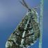 Pušinis sprindžius - Bupalus piniaria    Fotografijos autorius : Aivaras Markauskas   © Macrogamta.lt   Šis tinklapis priklauso bendruomenei kuri domisi makro fotografija ir fotografuoja gyvąjį makro pasaulį.