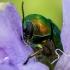 Žaliasis paslėptagalvis - Cryptocephalus sericeus  | Fotografijos autorius : Oskaras Venckus | © Macrogamta.lt | Šis tinklapis priklauso bendruomenei kuri domisi makro fotografija ir fotografuoja gyvąjį makro pasaulį.