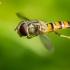 Žiedmusė - Episyrphus balteatus | Fotografijos autorius : Oskaras Venckus | © Macrogamta.lt | Šis tinklapis priklauso bendruomenei kuri domisi makro fotografija ir fotografuoja gyvąjį makro pasaulį.