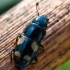 Žvilgvabalis - Glischrochilus quadrisignatus  | Fotografijos autorius : Oskaras Venckus | © Macrogamta.lt | Šis tinklapis priklauso bendruomenei kuri domisi makro fotografija ir fotografuoja gyvąjį makro pasaulį.