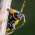 Blindinis rusvys - Lochmaea caprea  | Fotografijos autorius : Oskaras Venckus | © Macrogamta.lt | Šis tinklapis priklauso bendruomenei kuri domisi makro fotografija ir fotografuoja gyvąjį makro pasaulį.