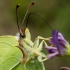 Citrinukas - Gonepteryx rhamni  | Fotografijos autorius : Oskaras Venckus | © Macrogamta.lt | Šis tinklapis priklauso bendruomenei kuri domisi makro fotografija ir fotografuoja gyvąjį makro pasaulį.