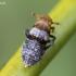 Cikada - Conomelus anceps | Fotografijos autorius : Oskaras Venckus | © Macrogamta.lt | Šis tinklapis priklauso bendruomenei kuri domisi makro fotografija ir fotografuoja gyvąjį makro pasaulį.