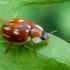Dryžuotoji boružė - Myzia oblongoguttata    Fotografijos autorius : Oskaras Venckus   © Macrogamta.lt   Šis tinklapis priklauso bendruomenei kuri domisi makro fotografija ir fotografuoja gyvąjį makro pasaulį.