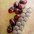 Dvispalvė skydblakė - Piezodorus lituratus, nimfos | Fotografijos autorius : Oskaras Venckus | © Macrogamta.lt | Šis tinklapis priklauso bendruomenei kuri domisi makro fotografija ir fotografuoja gyvąjį makro pasaulį.