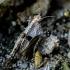 Dvitaškis šokliukas - Tetrix bipunctata | Fotografijos autorius : Oskaras Venckus | © Macrogamta.lt | Šis tinklapis priklauso bendruomenei kuri domisi makro fotografija ir fotografuoja gyvąjį makro pasaulį.