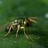 Chalcidas - Pteromalidae sp. | Fotografijos autorius : Oskaras Venckus | © Macrogamta.lt | Šis tinklapis priklauso bendruomenei kuri domisi makro fotografija ir fotografuoja gyvąjį makro pasaulį.