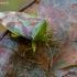 Krūminė skydblakė - Elasmostethus interstinctus  | Fotografijos autorius : Oskaras Venckus | © Macrogamta.lt | Šis tinklapis priklauso bendruomenei kuri domisi makro fotografija ir fotografuoja gyvąjį makro pasaulį.