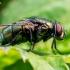 Lavonmusė - Lucilia sp. ? | Fotografijos autorius : Oskaras Venckus | © Macrogamta.lt | Šis tinklapis priklauso bendruomenei kuri domisi makro fotografija ir fotografuoja gyvąjį makro pasaulį.