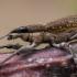 Lubininis sitonas - Sitona griseus | Fotografijos autorius : Oskaras Venckus | © Macrogamta.lt | Šis tinklapis priklauso bendruomenei kuri domisi makro fotografija ir fotografuoja gyvąjį makro pasaulį.