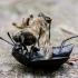 Maitvabalis - Silpha tristis  | Fotografijos autorius : Oskaras Venckus | © Macrogamta.lt | Šis tinklapis priklauso bendruomenei kuri domisi makro fotografija ir fotografuoja gyvąjį makro pasaulį.