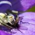 Geltonasis žiedvoris - Misumena vatia | Fotografijos autorius : Oskaras Venckus | © Macrogamta.lt | Šis tinklapis priklauso bendruomenei kuri domisi makro fotografija ir fotografuoja gyvąjį makro pasaulį.