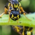 Žiedvapsvės - Cerceris arenaria | Fotografijos autorius : Oskaras Venckus | © Macrogamta.lt | Šis tinklapis priklauso bendruomenei kuri domisi makro fotografija ir fotografuoja gyvąjį makro pasaulį.