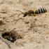 Crabronidae sp. ?   Fotografijos autorius : Oskaras Venckus   © Macrogamta.lt   Šis tinklapis priklauso bendruomenei kuri domisi makro fotografija ir fotografuoja gyvąjį makro pasaulį.
