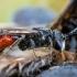 Bitė - Sphecodes reticulatus | Fotografijos autorius : Oskaras Venckus | © Macrogamta.lt | Šis tinklapis priklauso bendruomenei kuri domisi makro fotografija ir fotografuoja gyvąjį makro pasaulį.