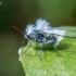 Pūslinis amaras - Eriosoma lanuginosum | Fotografijos autorius : Oskaras Venckus | © Macrogamta.lt | Šis tinklapis priklauso bendruomenei kuri domisi makro fotografija ir fotografuoja gyvąjį makro pasaulį.