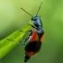 Raštuotasis pūsliavabalis - Anthocomus equestris | Fotografijos autorius : Oskaras Venckus | © Macrogamta.lt | Šis tinklapis priklauso bendruomenei kuri domisi makro fotografija ir fotografuoja gyvąjį makro pasaulį.