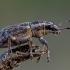 Sitonas - Sitona sp. | Fotografijos autorius : Oskaras Venckus | © Macrogamta.lt | Šis tinklapis priklauso bendruomenei kuri domisi makro fotografija ir fotografuoja gyvąjį makro pasaulį.
