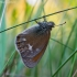 Tamsusis satyriukas - Coenonympha glycerion  | Fotografijos autorius : Oskaras Venckus | © Macrogamta.lt | Šis tinklapis priklauso bendruomenei kuri domisi makro fotografija ir fotografuoja gyvąjį makro pasaulį.