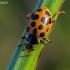 Trylikataškė boružė - Hippodamia tredecimpunctata | Fotografijos autorius : Oskaras Venckus | © Macrogamta.lt | Šis tinklapis priklauso bendruomenei kuri domisi makro fotografija ir fotografuoja gyvąjį makro pasaulį.
