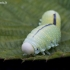 Beržinis cimbeksas - Cimbex femoratus | Fotografijos autorius : Zita Gasiūnaitė | © Macrogamta.lt | Šis tinklapis priklauso bendruomenei kuri domisi makro fotografija ir fotografuoja gyvąjį makro pasaulį.