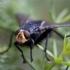 Lavonmusė - Cynomya mortuorum | Fotografijos autorius : Zita Gasiūnaitė | © Macrogamta.lt | Šis tinklapis priklauso bendruomenei kuri domisi makro fotografija ir fotografuoja gyvąjį makro pasaulį.