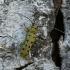 Dešimtdėmis drebulenis - Saperda perforata | Fotografijos autorius : Giedrius Markevičius | © Macrogamta.lt | Šis tinklapis priklauso bendruomenei kuri domisi makro fotografija ir fotografuoja gyvąjį makro pasaulį.