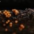 Apgaulusis krekenis - Trichia decipiens  | Fotografijos autorius : Eglė (Černevičiūtė) Vičiuvienė | © Macrogamta.lt | Šis tinklapis priklauso bendruomenei kuri domisi makro fotografija ir fotografuoja gyvąjį makro pasaulį.