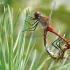 Kruvinoji skėtė - Sympetrum sanguineum | Fotografijos autorius : Povilas Sakalauskas | © Macrogamta.lt | Šis tinklapis priklauso bendruomenei kuri domisi makro fotografija ir fotografuoja gyvąjį makro pasaulį.