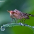 Sraigžudė - Euthycera chaerophylli | Fotografijos autorius : Žilvinas Pūtys | © Macrogamta.lt | Šis tinklapis priklauso bendruomenei kuri domisi makro fotografija ir fotografuoja gyvąjį makro pasaulį.