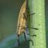 Maudinis stiebastraublis - Lixus iridis | Fotografijos autorius : Žilvinas Pūtys | © Macrogamta.lt | Šis tinklapis priklauso bendruomenei kuri domisi makro fotografija ir fotografuoja gyvąjį makro pasaulį.