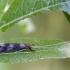 Plonaūsė apsiuva - Mystacides longicornis | Fotografijos autorius : Žilvinas Pūtys | © Macrogamta.lt | Šis tinklapis priklauso bendruomenei kuri domisi makro fotografija ir fotografuoja gyvąjį makro pasaulį.
