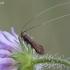 Buožaininė ilgaūsė makštinė kandis - Nemophora metallica ? | Fotografijos autorius : Žilvinas Pūtys | © Macrogamta.lt | Šis tinklapis priklauso bendruomenei kuri domisi makro fotografija ir fotografuoja gyvąjį makro pasaulį.