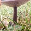 Tikrasis minkštūnis - Melanoleuca melaleuca? | Fotografijos autorius : Vitalij Drozdov | © Macrogamta.lt | Šis tinklapis priklauso bendruomenei kuri domisi makro fotografija ir fotografuoja gyvąjį makro pasaulį.
