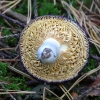 Melsvažalė ūmėdė - Russula cyanoxantha | Fotografijos autorius : Romas Ferenca | © Macrogamta.lt | Šis tinklapis priklauso bendruomenei kuri domisi makro fotografija ir fotografuoja gyvąjį makro pasaulį.