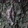 Tamsiajuostis žievėsprindis - Alcis repandata f. conversaria   Fotografijos autorius : Vytautas Gluoksnis   © Macrogamta.lt   Šis tinklapis priklauso bendruomenei kuri domisi makro fotografija ir fotografuoja gyvąjį makro pasaulį.