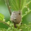 Ąsotvapsvė - Eumenes sp. molinis lizdas | Fotografijos autorius : Vidas Brazauskas | © Macrogamta.lt | Šis tinklapis priklauso bendruomenei kuri domisi makro fotografija ir fotografuoja gyvąjį makro pasaulį.