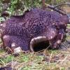 Čerpėtasis žvynadyglis - Sarcodon imbricatus | Fotografijos autorius : Romas Ferenca | © Macrogamta.lt | Šis tinklapis priklauso bendruomenei kuri domisi makro fotografija ir fotografuoja gyvąjį makro pasaulį.
