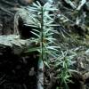 Šeškinės ozo kukmedžiukai - Taxus baccata | Fotografijos autorius : Aleksandras Stabrauskas | © Macrogamta.lt | Šis tinklapis priklauso bendruomenei kuri domisi makro fotografija ir fotografuoja gyvąjį makro pasaulį.