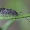 Šiengraužis - Metylophorus nebulosus ♂ | Fotografijos autorius : Žilvinas Pūtys | © Macrogamta.lt | Šis tinklapis priklauso bendruomenei kuri domisi makro fotografija ir fotografuoja gyvąjį makro pasaulį.