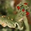 Šiurė - Cladonia sp. | Fotografijos autorius : Gintautas Steiblys | © Macrogamta.lt | Šis tinklapis priklauso bendruomenei kuri domisi makro fotografija ir fotografuoja gyvąjį makro pasaulį.