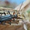 Rudaūsis karnadiris - Grammoptera ruficornis | Fotografijos autorius : Gintautas Steiblys | © Macrogamta.lt | Šis tinklapis priklauso bendruomenei kuri domisi makro fotografija ir fotografuoja gyvąjį makro pasaulį.