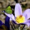 Žalsvasis varinukas - Callophrys rubi  | Fotografijos autorius : Radvilė Markevičiūtė | © Macrogamta.lt | Šis tinklapis priklauso bendruomenei kuri domisi makro fotografija ir fotografuoja gyvąjį makro pasaulį.