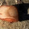 Žiedmusė - Microdon analis, lerva | Fotografijos autorius : Ramunė Vakarė | © Macrogamta.lt | Šis tinklapis priklauso bendruomenei kuri domisi makro fotografija ir fotografuoja gyvąjį makro pasaulį.