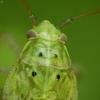 Žolblakė - Lygus sp, nimfa | Fotografijos autorius : Vidas Brazauskas | © Macrogamta.lt | Šis tinklapis priklauso bendruomenei kuri domisi makro fotografija ir fotografuoja gyvąjį makro pasaulį.
