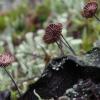 Ašutinis mažūnis - Gymnopus androsaceus | Fotografijos autorius : Vytautas Gluoksnis | © Macrogamta.lt | Šis tinklapis priklauso bendruomenei kuri domisi makro fotografija ir fotografuoja gyvąjį makro pasaulį.