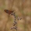 Acraea terpsicore | Fotografijos autorius : Deividas Makavičius | © Macrogamta.lt | Šis tinklapis priklauso bendruomenei kuri domisi makro fotografija ir fotografuoja gyvąjį makro pasaulį.