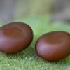 Aglija - Aglia tau, kiaušiniai | Fotografijos autorius : Žilvinas Pūtys | © Macrogamta.lt | Šis tinklapis priklauso bendruomenei kuri domisi makro fotografija ir fotografuoja gyvąjį makro pasaulį.