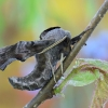 Akiuotasis sfinksas - Smerinthus ocellatus   Fotografijos autorius : Arūnas Eismantas   © Macrogamta.lt   Šis tinklapis priklauso bendruomenei kuri domisi makro fotografija ir fotografuoja gyvąjį makro pasaulį.
