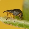 Apionas - Protapion fulvipes ♂ | Fotografijos autorius : Vidas Brazauskas | © Macrogamta.lt | Šis tinklapis priklauso bendruomenei kuri domisi makro fotografija ir fotografuoja gyvąjį makro pasaulį.